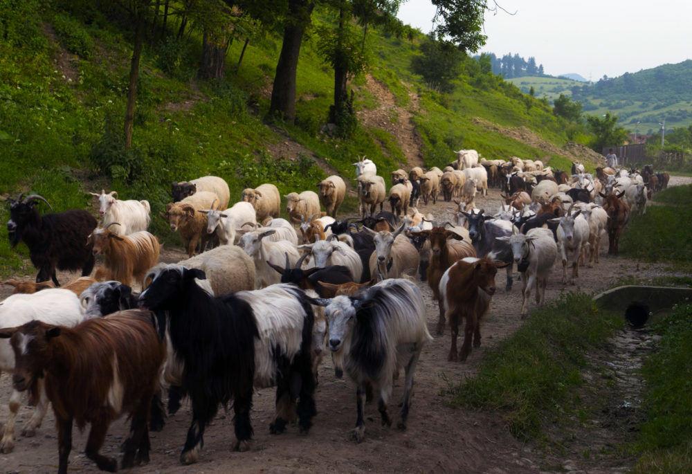 Arbre de Joie, le troupeau rentre de balade